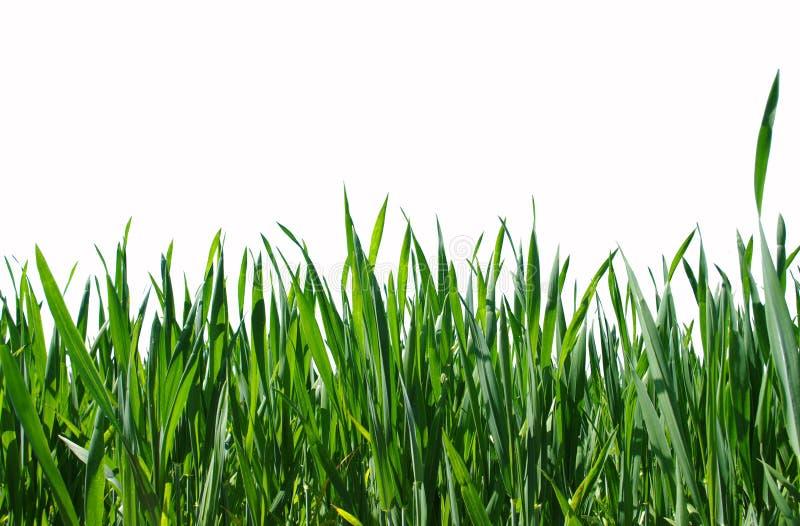 绿色查出的草坪 库存图片