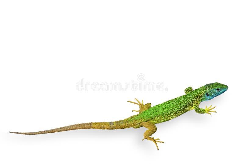 绿色查出的蜥蜴 库存图片