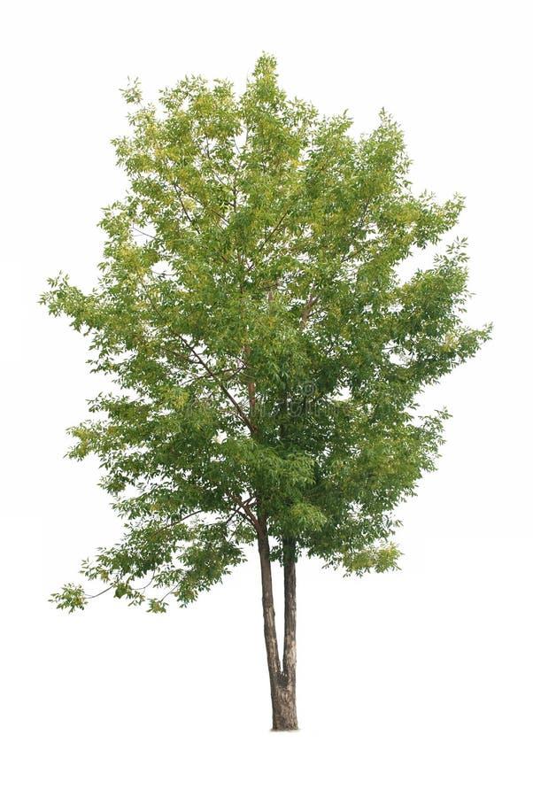 绿色查出结构树 免版税库存照片