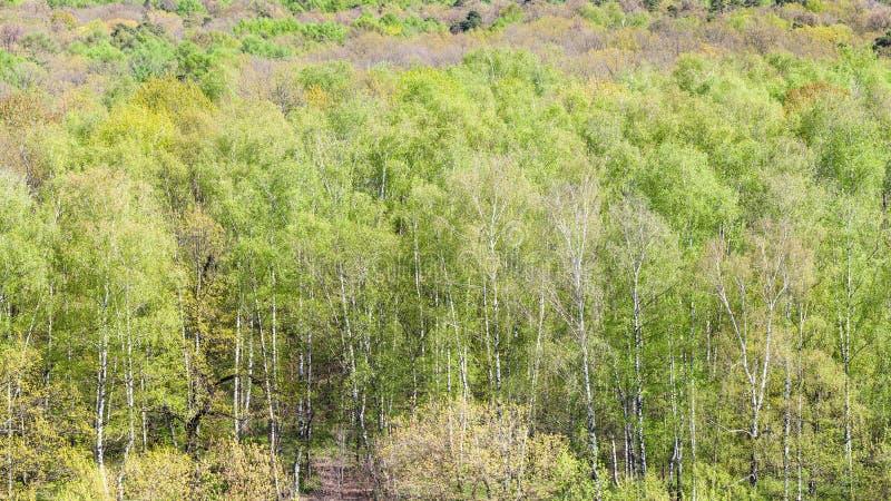 绿色树全景在森林里在春天 库存照片