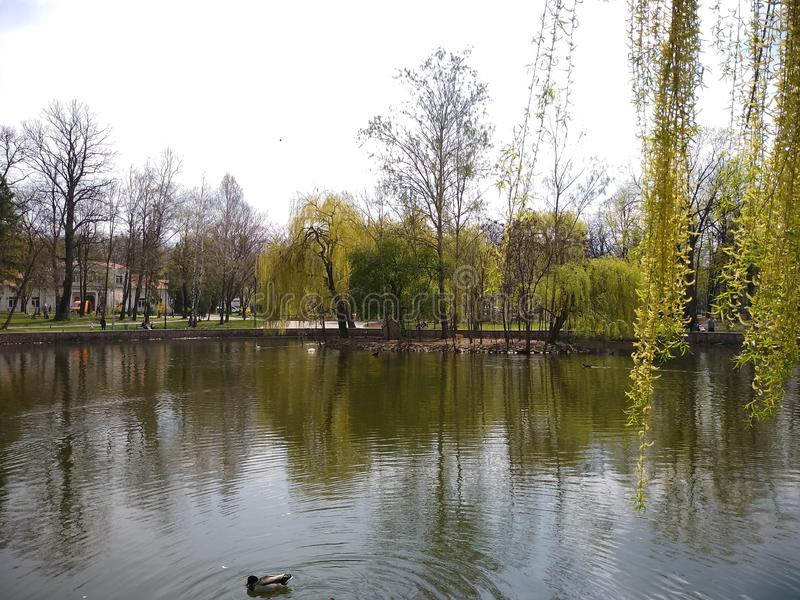 绿色树和天空蔚蓝在城市公园 伊云奴Frankivsk,乌克兰 r 库存照片