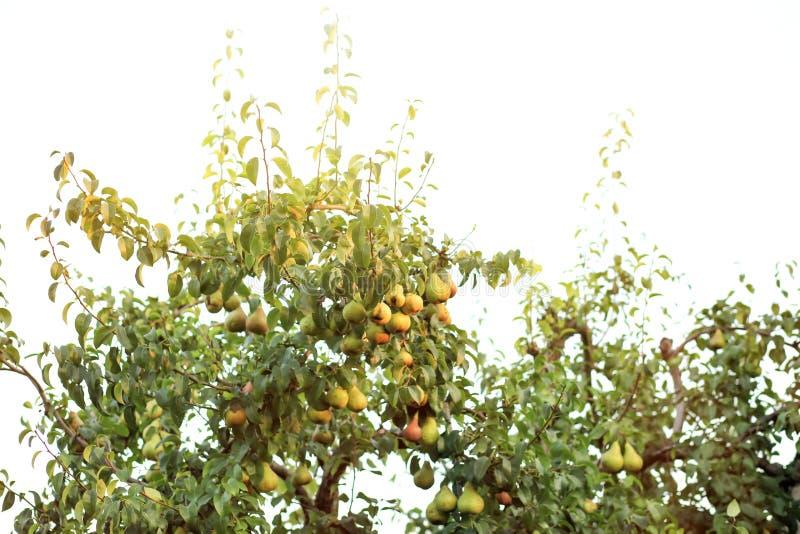 绿色树用水多的梨在庭院里 免版税库存照片