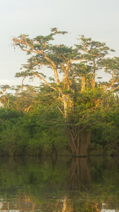 绿色树的看法在反射在河边缘的亚马逊密林 图库摄影