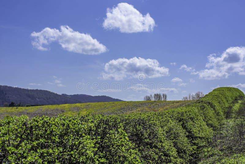 绿色树篱在英国乡下的春天 免版税库存照片