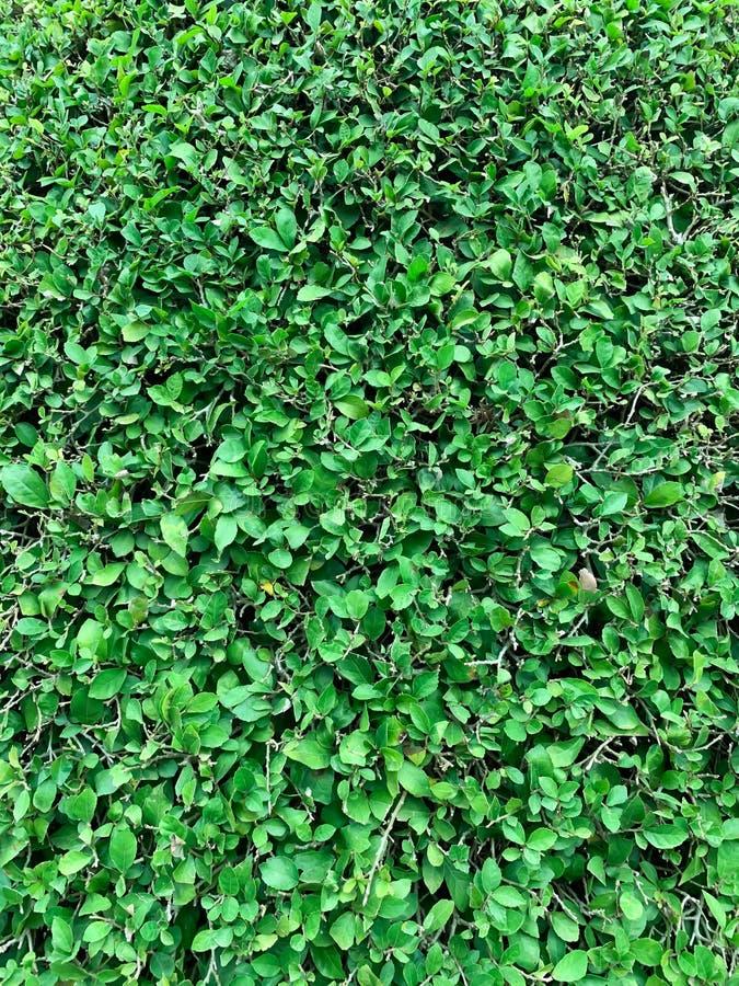 绿色树背景 免版税库存照片