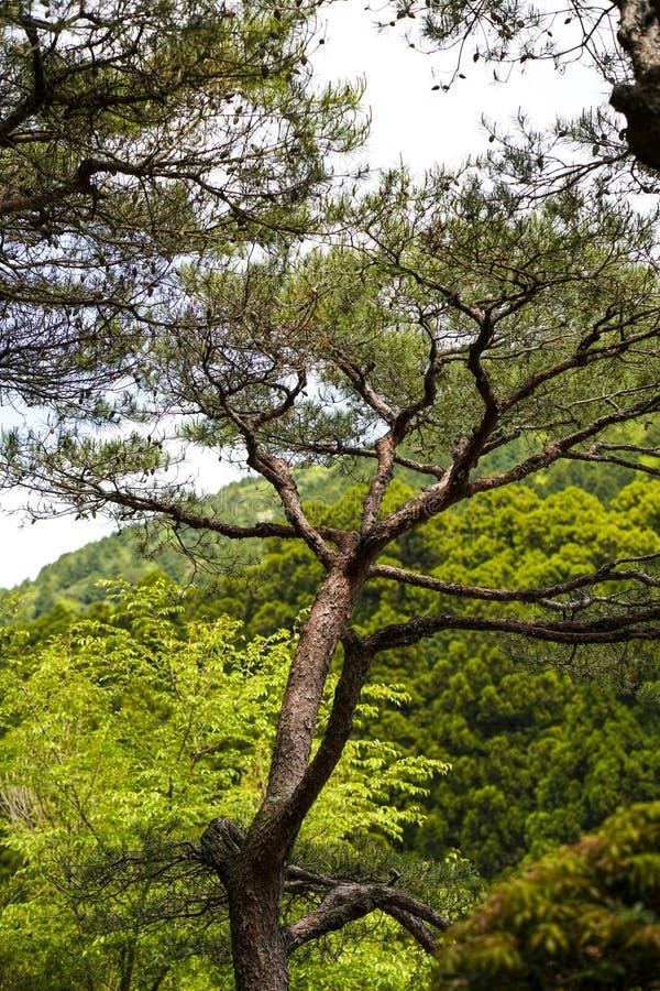 绿色树,一部分的唯一树,生长反对森林的树 库存图片
