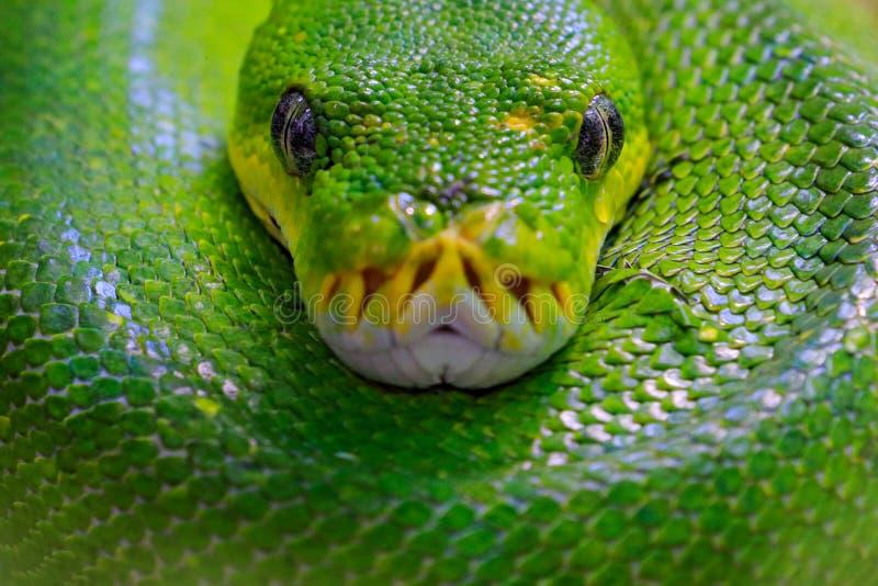 绿色树Python,墨瑞利亚viridis,从印度尼西亚,新几内亚的蛇 详述蛇顶头画象,在的森林爬行动物 免版税图库摄影