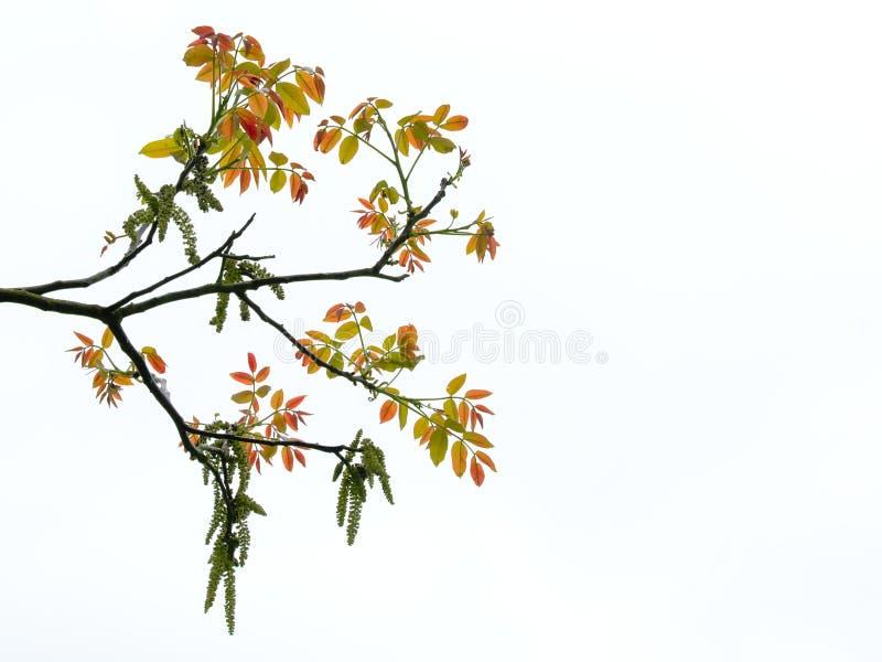 绿色核桃树的柔荑花和年轻红色叶子,隔绝在白的胡桃属老黑 库存照片