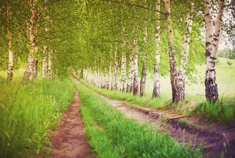 绿色桦树胡同在日出的 图库摄影