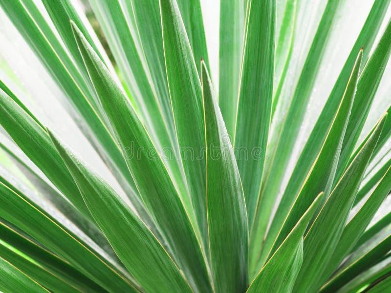 绿色棕榈叶特写镜头  免版税库存图片