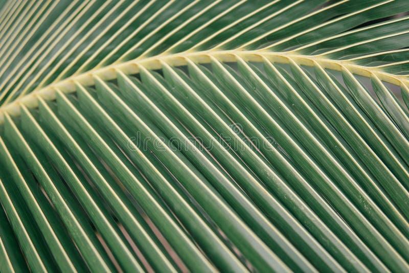 绿色棕榈叶线和纹理 宏观射击板料可可椰子 库存照片