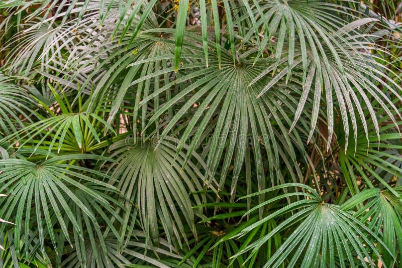 绿色棕榈叶,普遍的栽培植物,自然背景的样式在特写镜头的 免版税库存图片