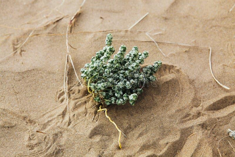 绿色植物在沙漠 免版税库存图片