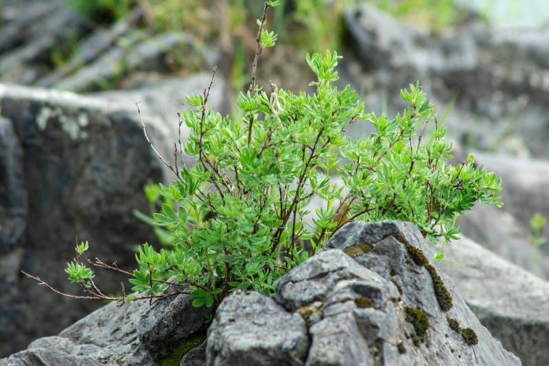 绿色植物增长在岩石之间 库存照片