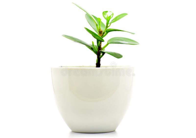 绿色植物装饰和interia的罐孤立 免版税库存照片