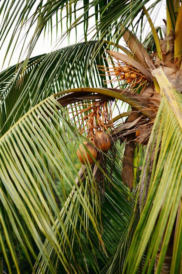 绿色椰子 库存图片