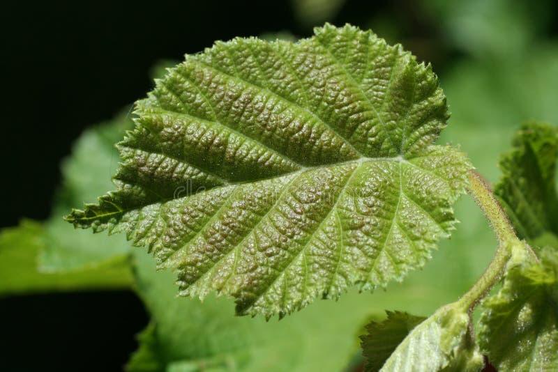 绿色榛子叶子 库存图片
