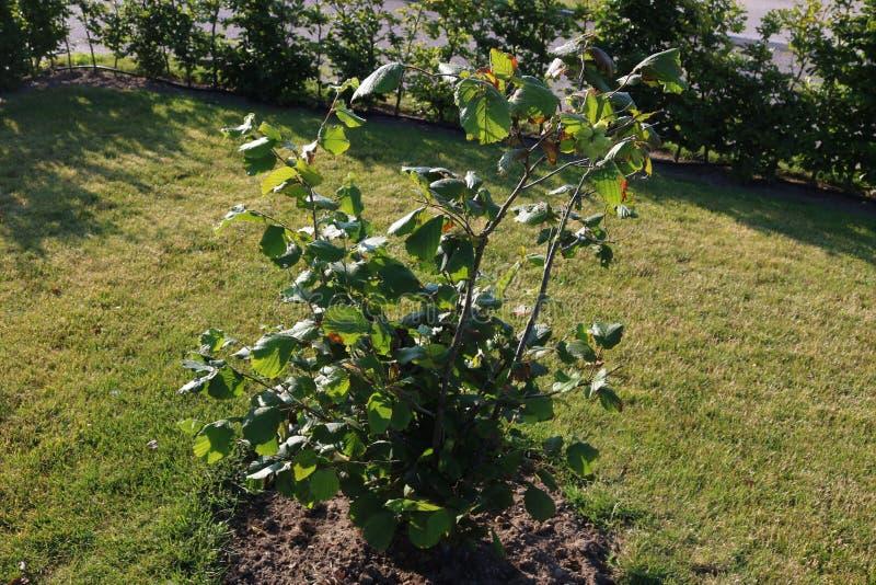 绿色榛子在树增长 库存图片