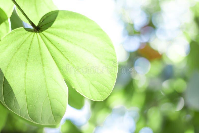 绿色槭树叶子在黑bokeh背景中 免版税库存照片