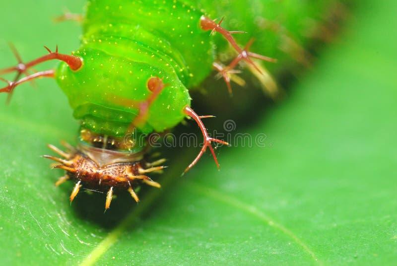绿色毛虫的接近的面孔 库存图片