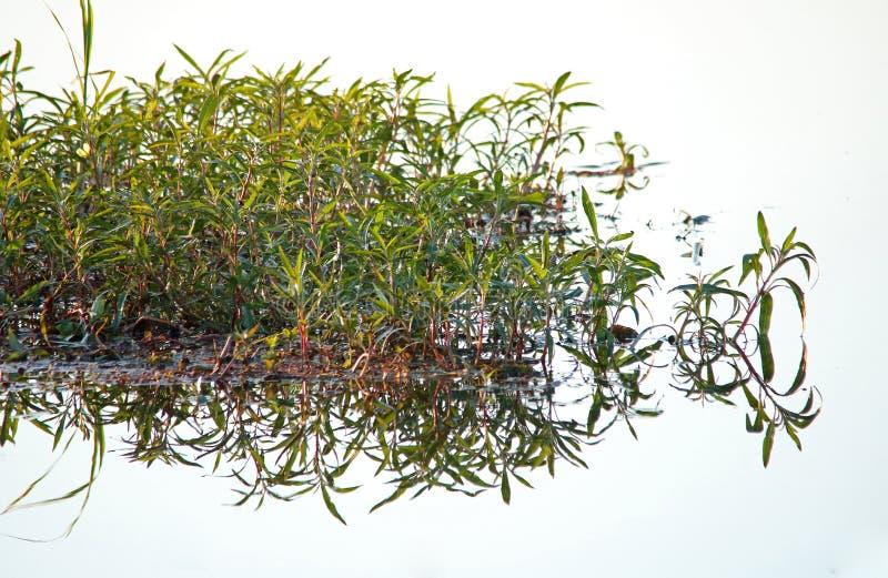 绿色水厂的反射在镇静水中 免版税库存照片