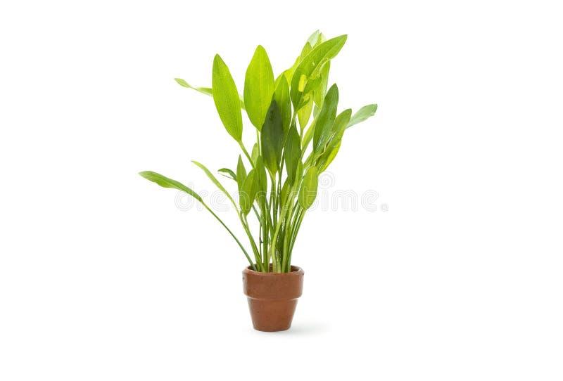 绿色水族馆植物 免版税库存图片