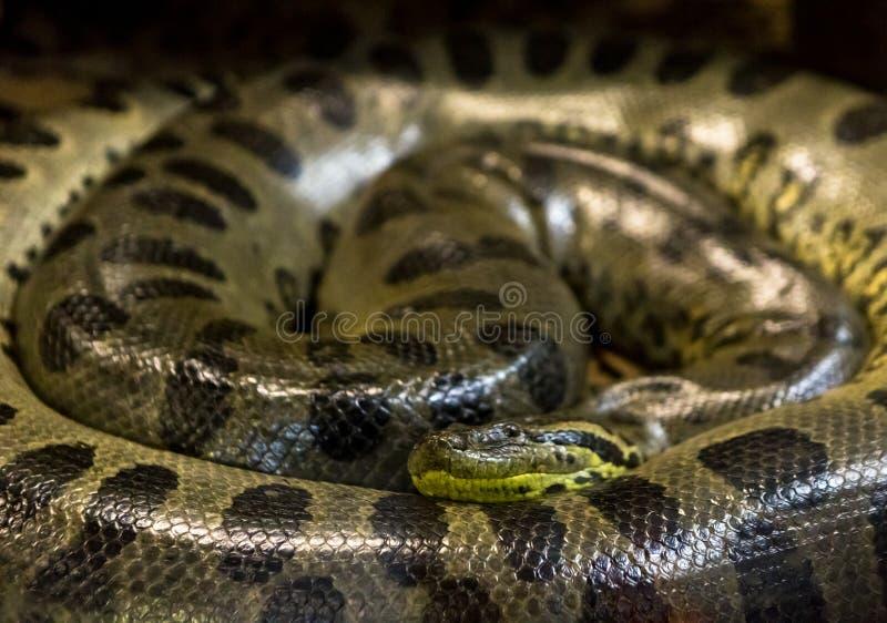 绿色水蟒,水蟒murinus,sucuri蛇 巨大 免版税库存图片