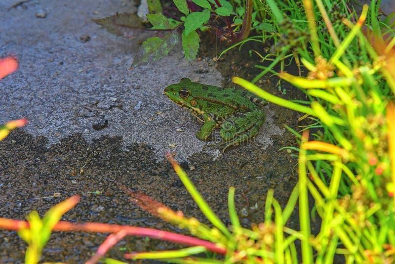 绿色水青蛙蛙属lessonae,关闭,在头的选择聚焦 水池青蛙在被弄脏的草的Pelophylax lessonae 库存照片