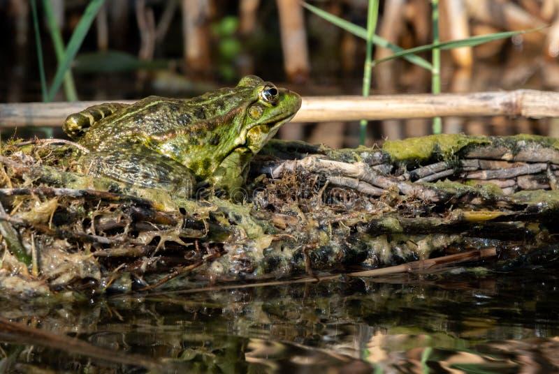 绿色水青蛙,esculenta的蛙属坐太阳 免版税库存图片