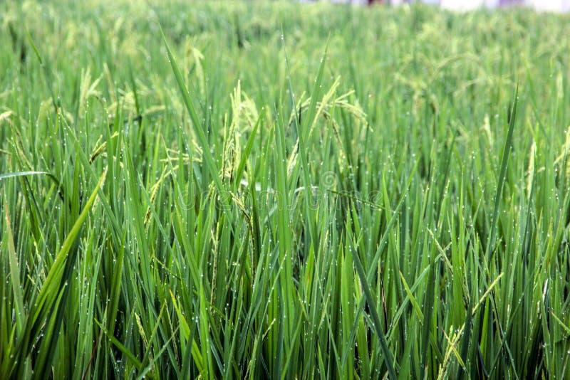 绿色满地露水的稻田 免版税库存照片