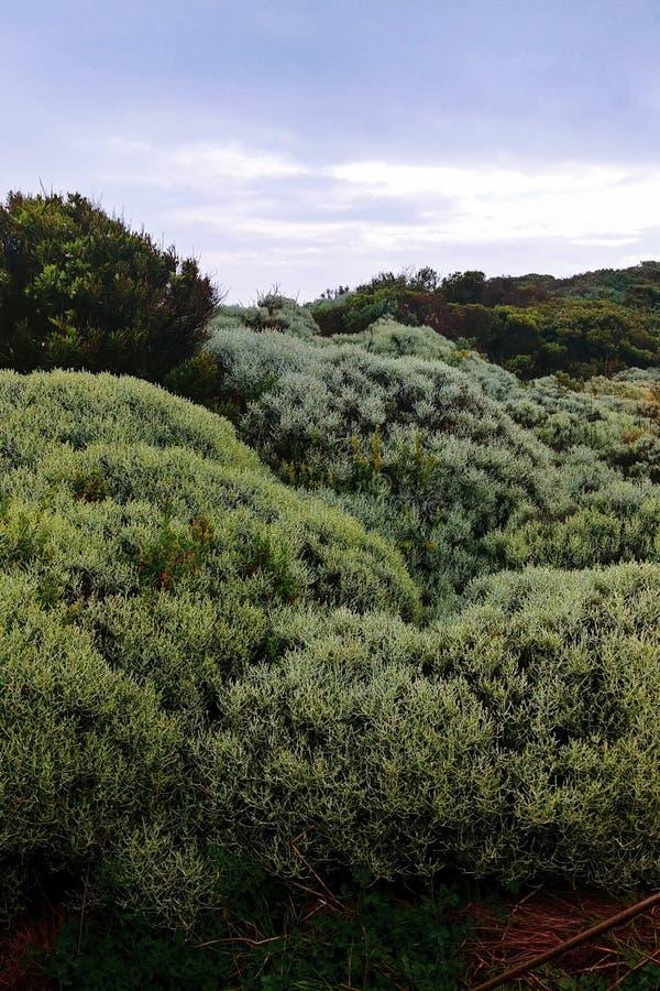 绿色灌木在澳大利亚 库存照片