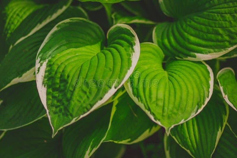绿色灌木玉簪属植物 自然背景图象 库存图片