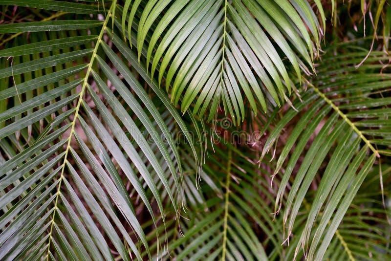 绿色热带有异乎寻常的形状和纹理的棕榈喜欢叶子在佛罗里达南部 免版税库存图片