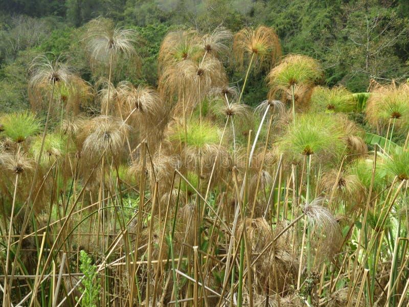 绿色热带草在Boquete移动风的巴拿马 免版税库存图片