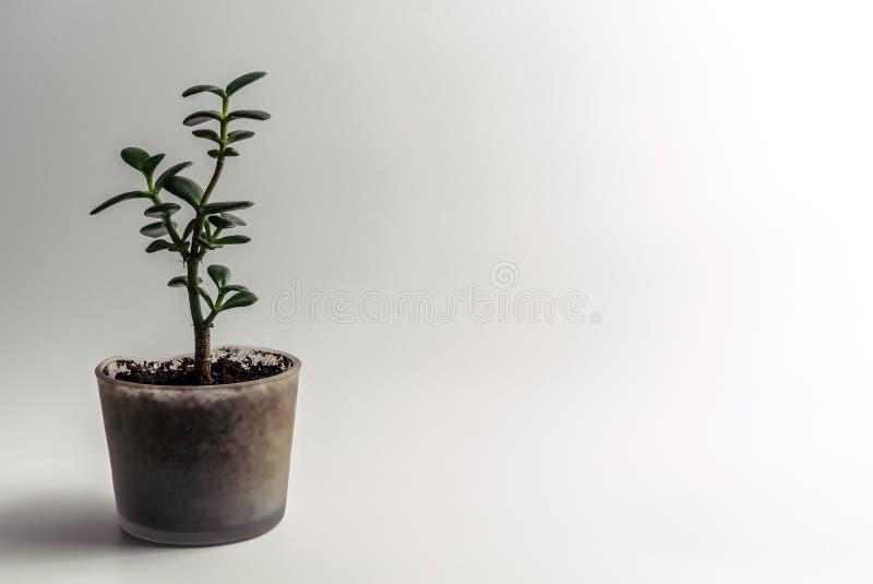 绿色玉厂,景天树ovata室内植物,风水金钱树多汁植物盆在一张现代玻璃花盆 图库摄影
