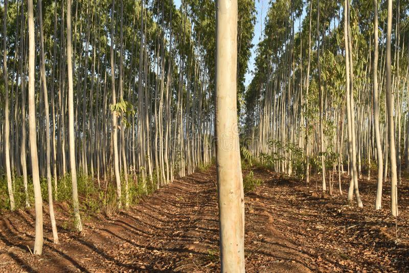 绿色玉树农场在森林里 库存图片