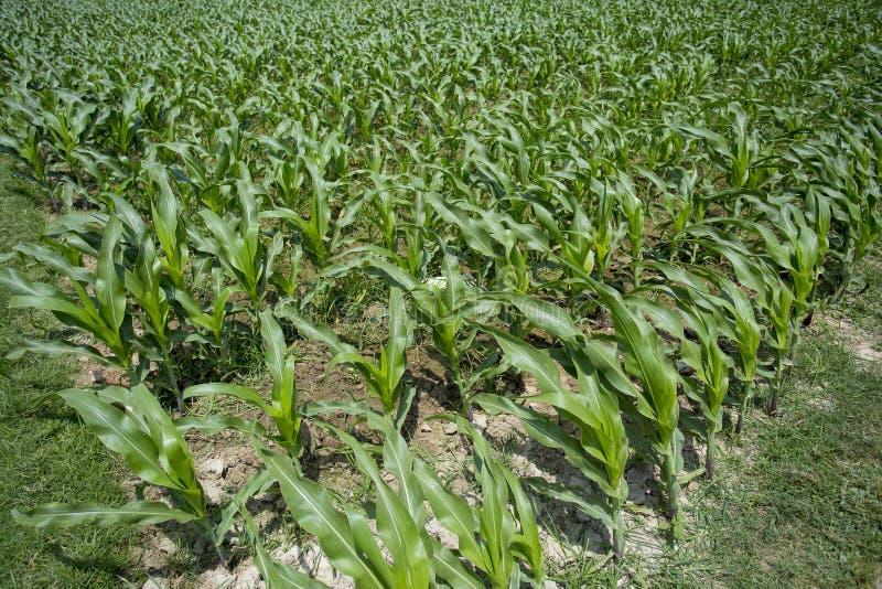 绿色玉米庄稼, Manikgonj,孟加拉国 库存照片