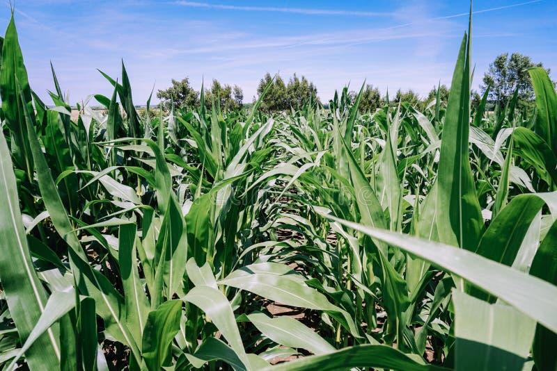 绿色玉米田在与天空蔚蓝和树的夏天 免版税库存照片