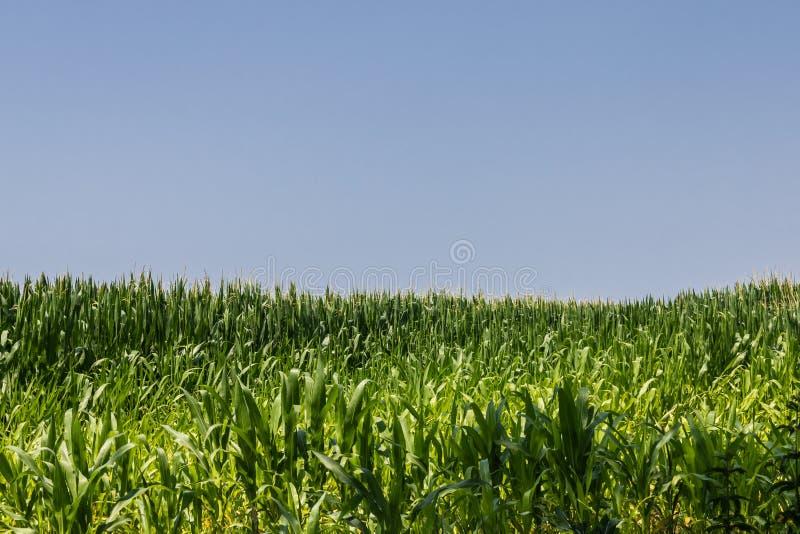 绿色玉米田在与天空蔚蓝的夏天 免版税库存照片