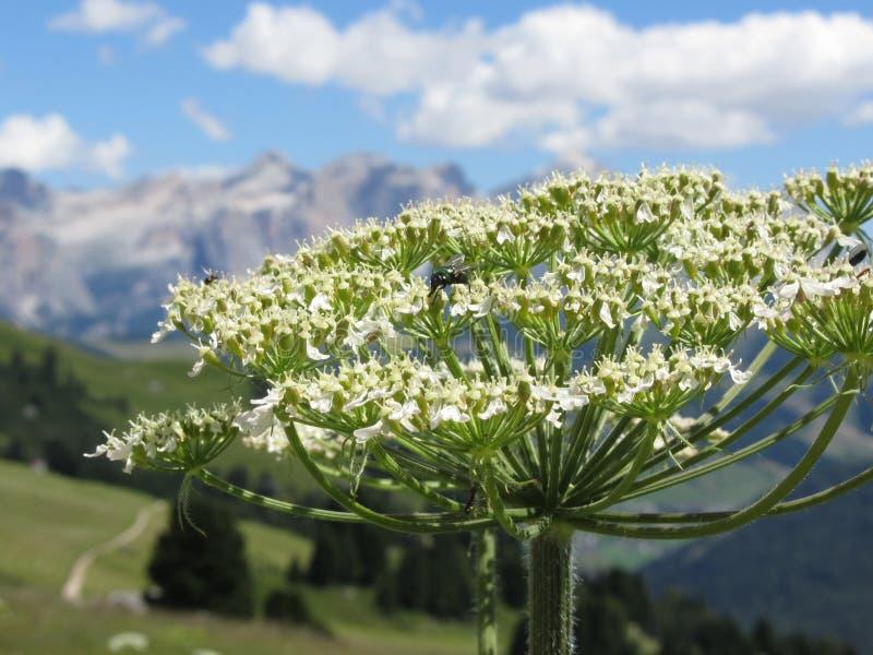绿色瓶或青蝇绿蝇种类在Hogweed Heracleum sphondylium花的花蜜哺养 Valgardena,南 免版税库存图片