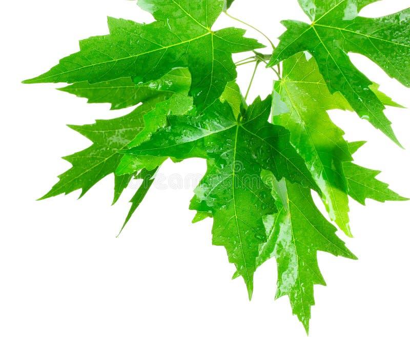 绿色生叶槭树 库存照片