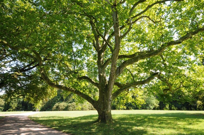 绿色生叶结构树 库存照片