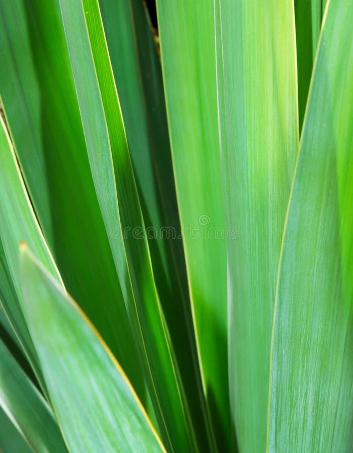 绿色留下丝兰 免版税库存照片