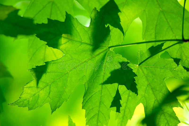 绿色留下宏观槭树 免版税库存照片