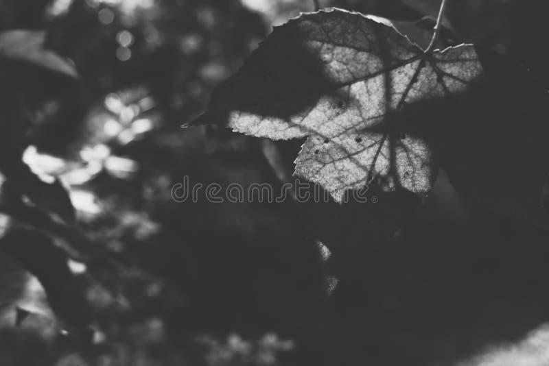 绿色留下槭树 树在森林自然背景、黑色& w中 免版税图库摄影
