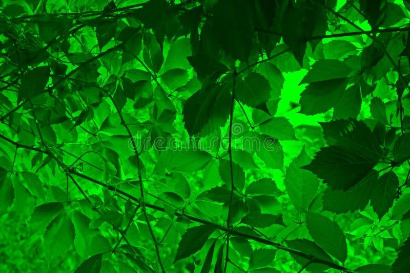 绿色留下藤 免版税库存照片