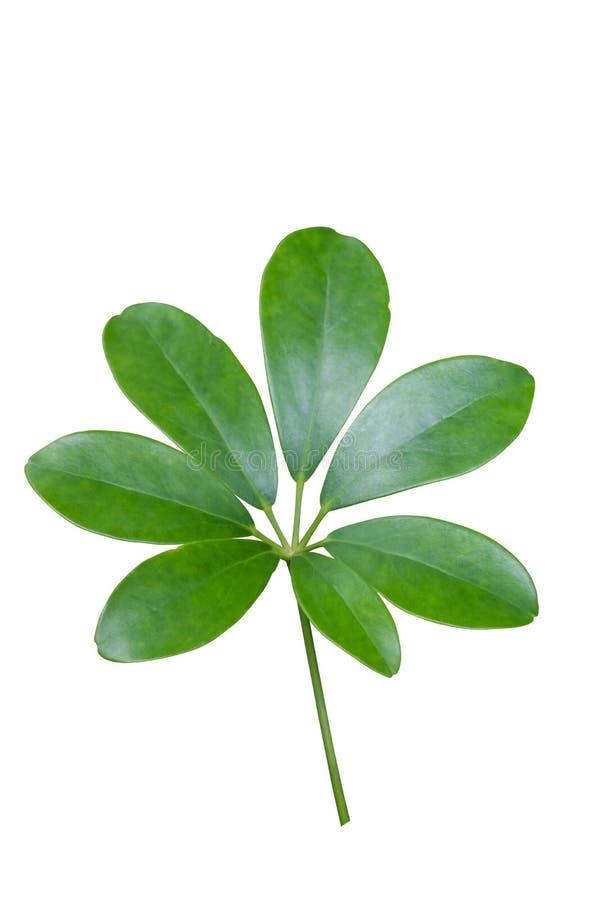 绿色留下鹅掌柴leucantha R Vig 查出在白色 库存图片