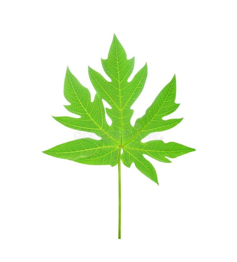 绿色番木瓜离开与从被隔绝的太阳样式的反射在白色backgroun,裁减路线 库存图片