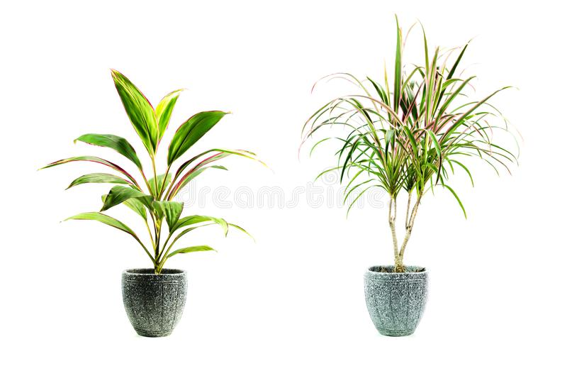 绿色盆的植物,在白色隔绝的罐的树 库存照片