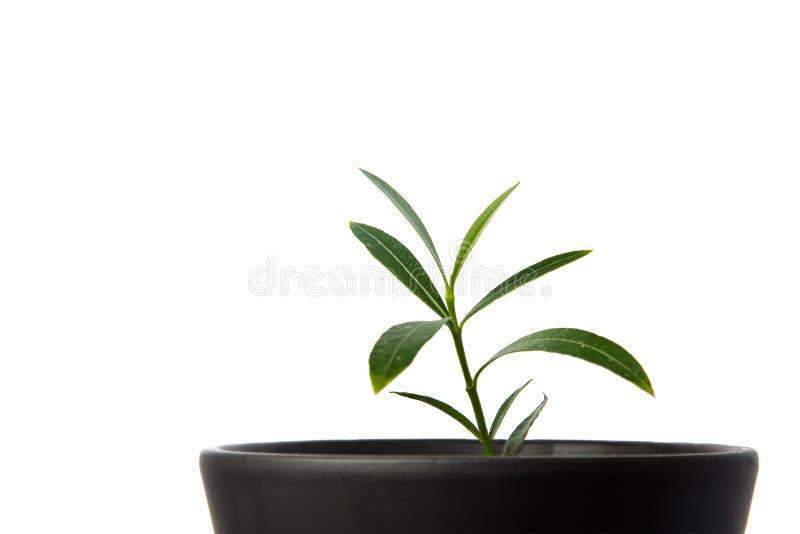 绿色盆的植物,在白色隔绝的罐的树 免版税图库摄影